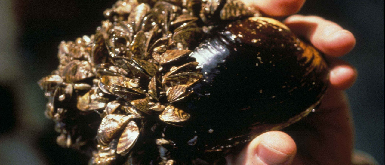 Zebra mussels dreissena polymorpha on native mussel