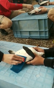 Students studying sea turtles in Japan.