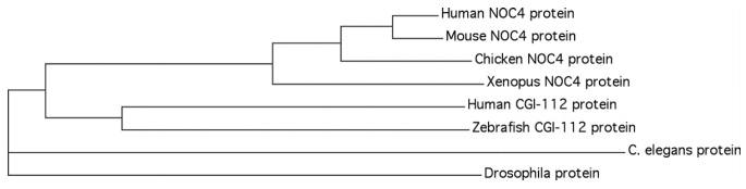 Figure 2: Phylogenetic analysis of the NOC4 and CGI-112 proteins.
